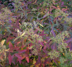 Spirea with its autumn tints!