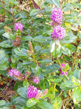 Many of the hebes are flowering again after Mum de-headed them in the late summer.