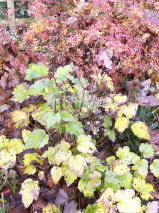 Potentilla and anemone in their Autumn get ups!