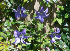 "Clematis ""Will Goodwin"""
