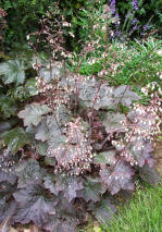 "Heuchera ""Palace Purple"""