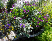 Mixed container planting including osteopermum and variegated sage.