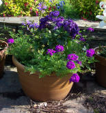 Container planted up with heliotrope and verbena.
