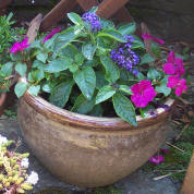 Container planted with heliotrope and busy lizzies.