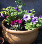 Container planted up with a fuchsia, petunias and busy lizzies.